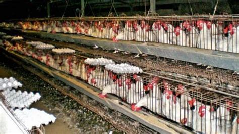 Poultry Biz: No more battery cages