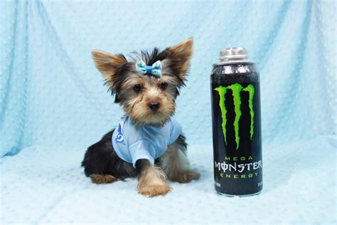 Cooper- Teacup Yorkie Puppy has found a good loving home