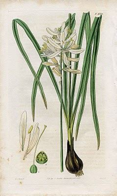 Lovely Antique Botanical Graphic - The Graphics Fairy