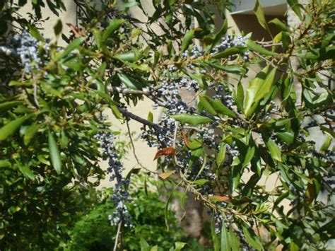 Wax Myrtle for Sale - Largo and St Petersburg