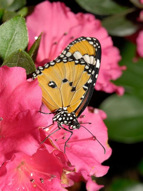 Butterfly Pictures & Wallpapers ~ Hindi Sms, Good Morning
