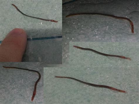 Small black and red worms in bathroom - Koh Samui, Koh