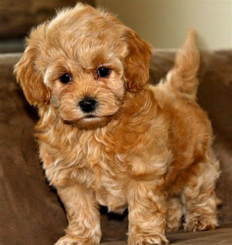 Maltipoo beige - 15 free HQ online Puzzle Games on