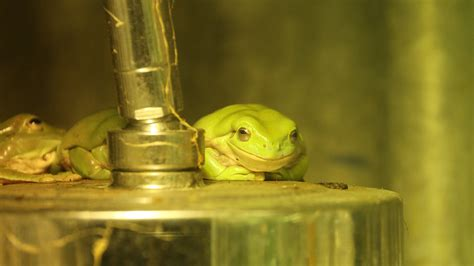 White's tree frog | Zoological Society of London (ZSL)