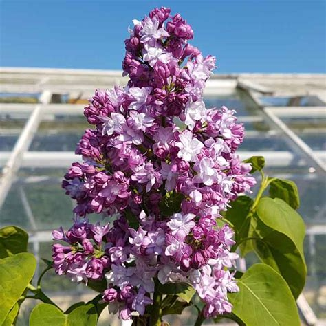 Lilac - Highly scented flowers in late spring