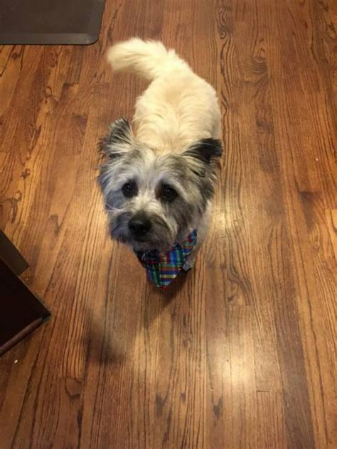 cairn terriers for sale in Altamont, Tennessee - Puppies