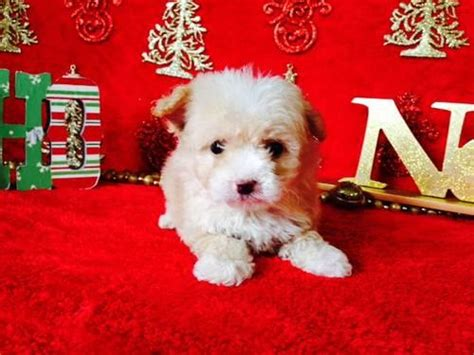 Adorable Toy and Teacup Maltipoo Puppies for Adoption - 9