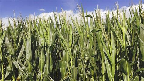 Is that corn crop worth more as silage or grain