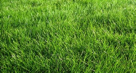 No Mow Meadow Mix - Low Maintenace Grass - Sierra Sod and